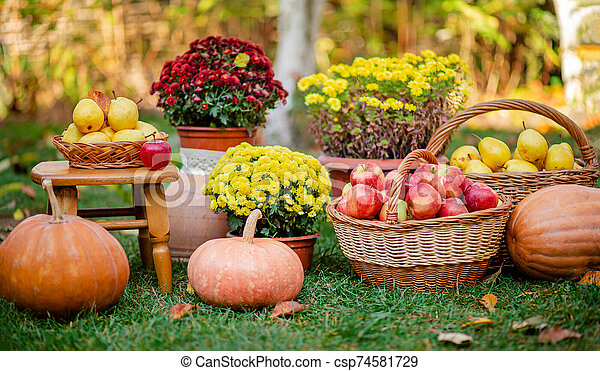 Autumn composition with flowers of chrysanthemums, pumpkins, apples and pears in a wicker basket in the autumn garden. - csp74581729