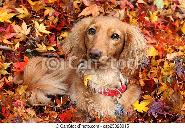 Autumn dachshund dog - csp25028015