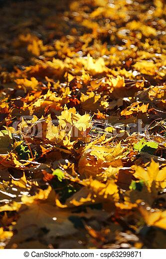 Autumn foliage of maple burning in evening sunlight - csp63299871