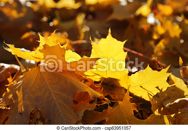 Autumn foliage of maple burning in the rays of the evening sun - csp63951057
