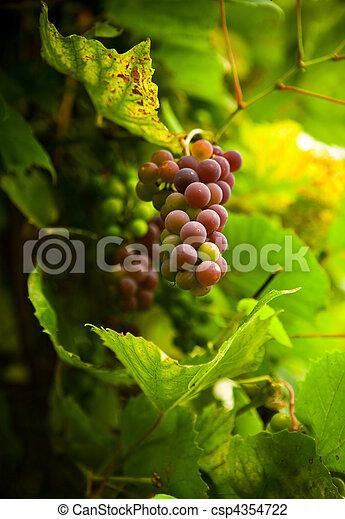 autumn grape - csp4354722