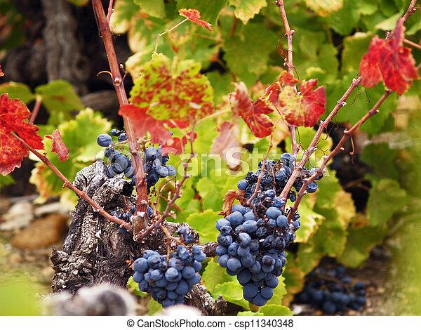 autumn grapes - csp11340348