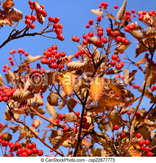 Autumn hawthorn berries on sky background - csp22677773