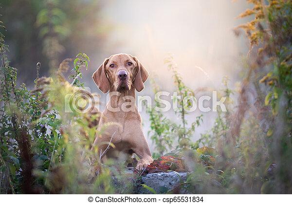 Autumn hungarian vizsla dog portrait in morning sun - csp65531834