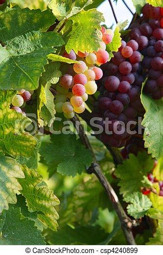 Autumn in the vineyard - csp4240899