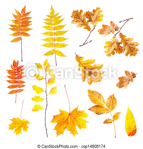 Autumn leaves isolated on a white background - csp14808174