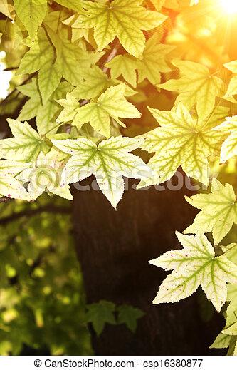 Autumn leaves of maple - csp16380877
