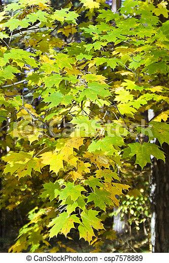 Autumn leaves of maple - csp7578889