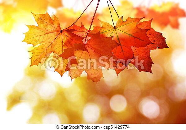 Autumn leaves of maple tree - csp51429774