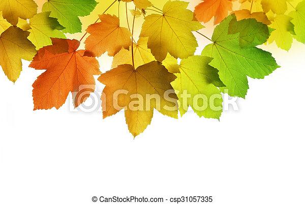 autumn leaves of maple tree - csp31057335