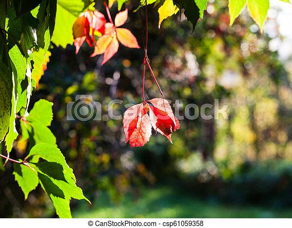 Autumn Leaves Of Virginia Creeper Plant Illuminated By Sun,White Cloud Mountain Minnow Fry