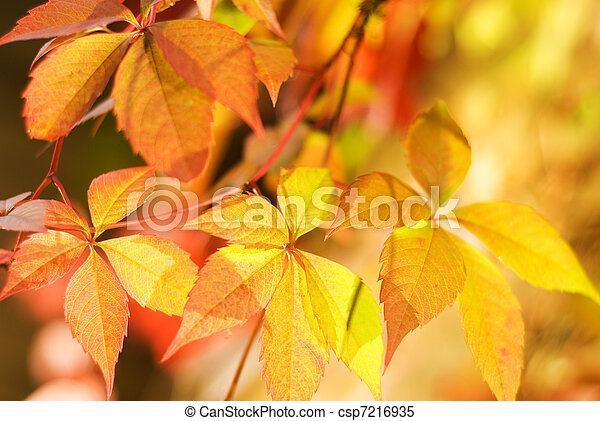 Autumn leaves on abstract blurred background (very shallow DoF, focus on the first leaf) - csp7216935