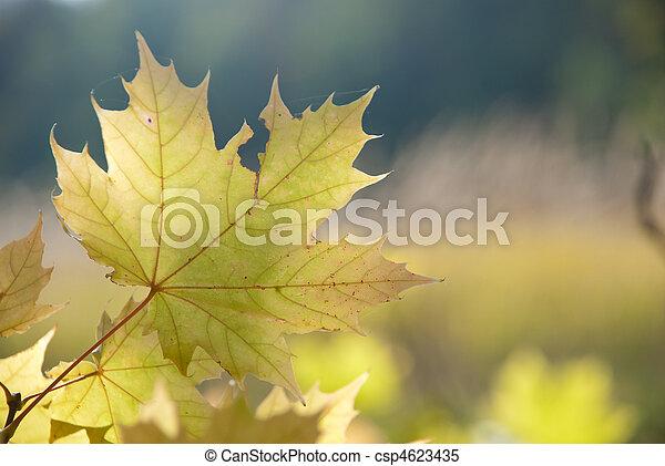 Autumn leaves , very shallow focus. - csp4623435