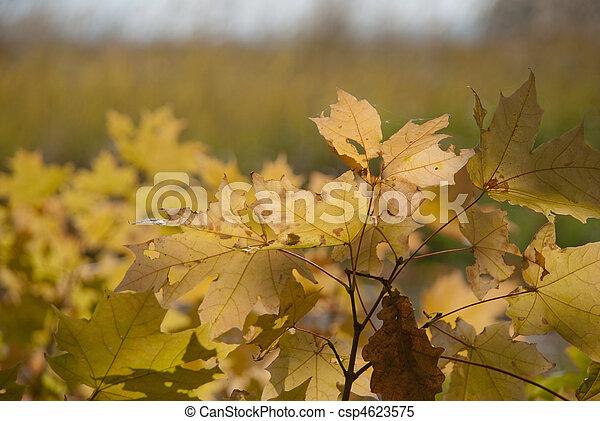 Autumn leaves , very shallow focus. - csp4623575
