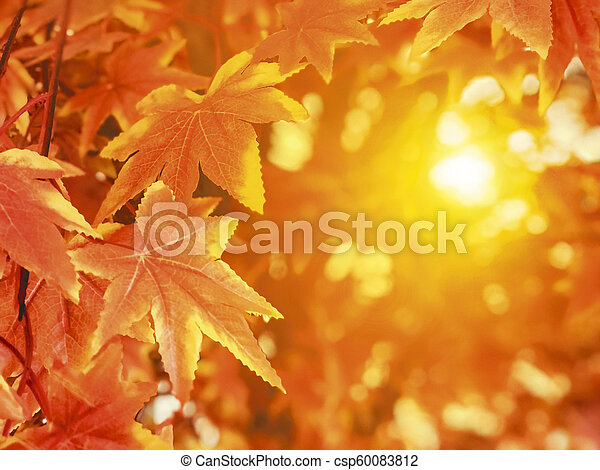 Autumn leaves with sunlight background maple leaf - csp60083812
