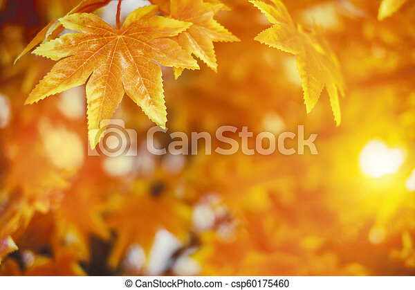 Autumn leaves with sunlight background maple leaf - csp60175460