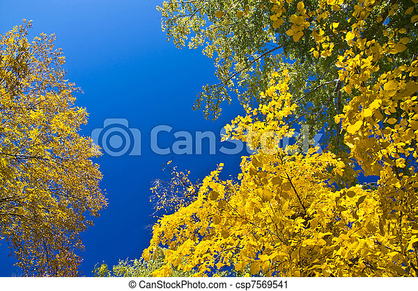 Autumn maple branch with yellow leaves against the blue clear sky. - csp7569541
