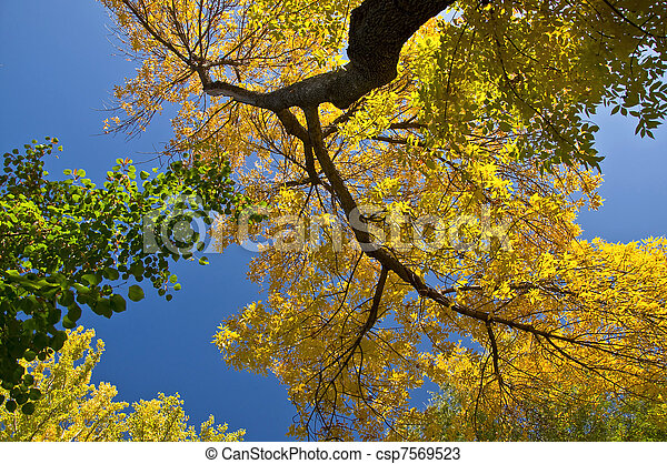 Autumn maple branch with yellow leaves against the blue clear sky. - csp7569523