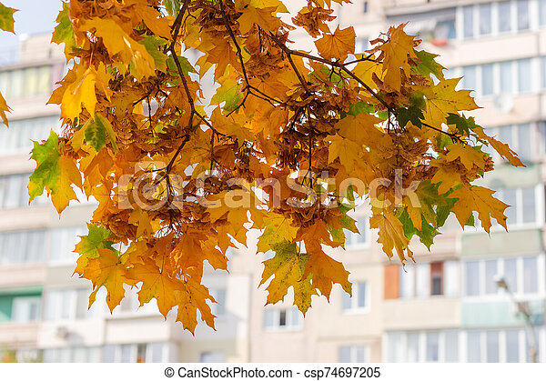 Autumn maple branches on blurred background of multi story building - csp74697205