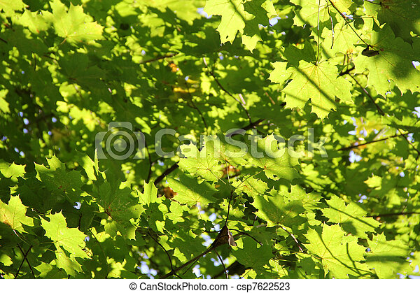 Autumn maple branches with green leaves. Background - csp7622523