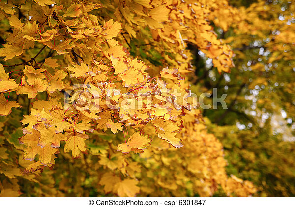 Autumn maple leaves background - csp16301847