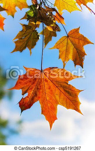 autumn maple leaves - csp5191267