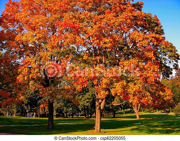 autumn maple trees in fall city park - csp62205055