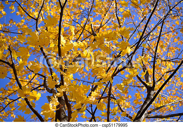 Autumn maple with yellow leaves - csp51179995