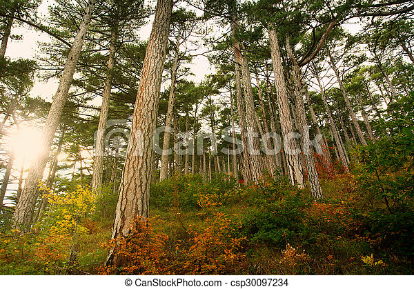 Autumn pine forest in rays of the dawn sun - csp30097234