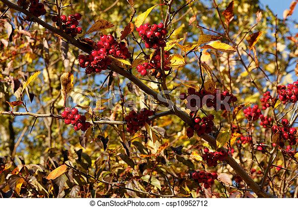 Autumn Poison Berries - csp10952712