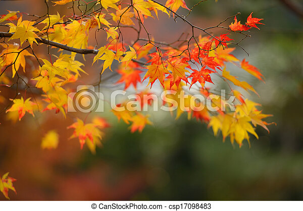 autumn red and yellow maple leaves - csp17098483