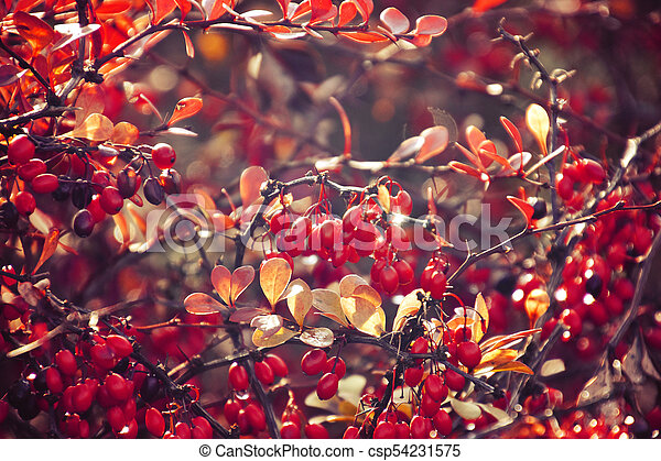 autumn red bush barberry in the rays of the morning sun, - csp54231575