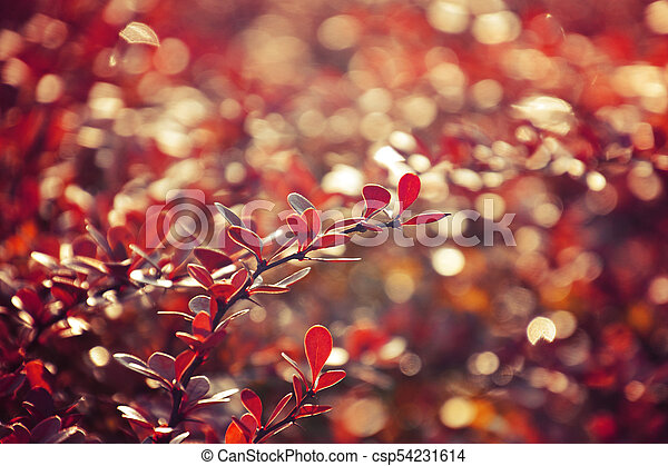 autumn red bush barberry in the rays of the morning sun, - csp54231614
