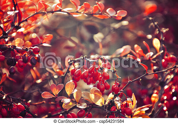 autumn red bush barberry in the rays of the morning sun, - csp54231584