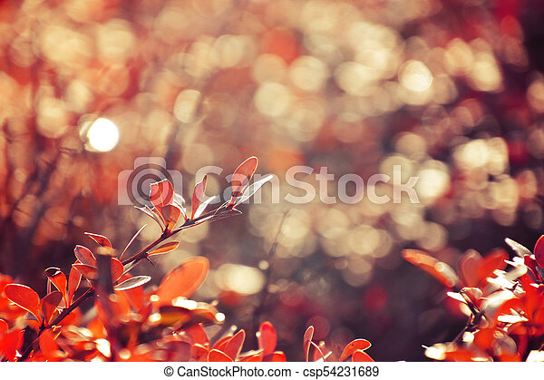 autumn red bush barberry in the rays of the morning sun, - csp54231689