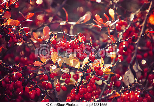 autumn red bush barberry in the rays of the morning sun, - csp54231555