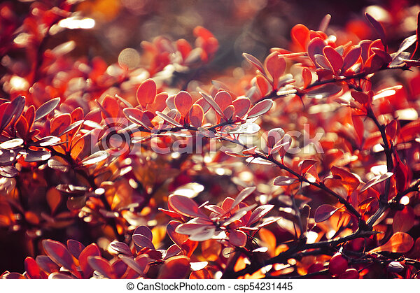 autumn red bush barberry in the rays of the morning sun, - csp54231445