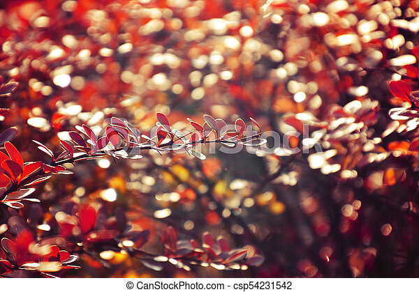 autumn red bush barberry in the rays of the morning sun, - csp54231542