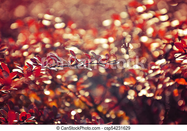 autumn red bush barberry in the rays of the morning sun, - csp54231629