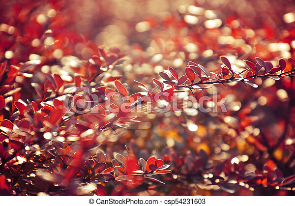 autumn red bush barberry in the rays of the morning sun, - csp54231603