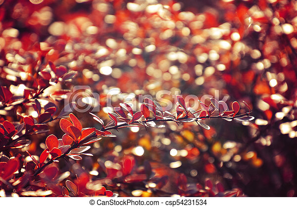 autumn red bush barberry in the rays of the morning sun, - csp54231534