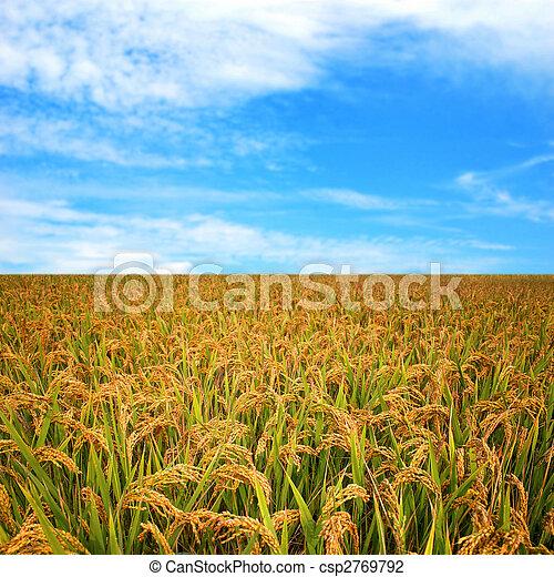 Autumn rice field - csp2769792