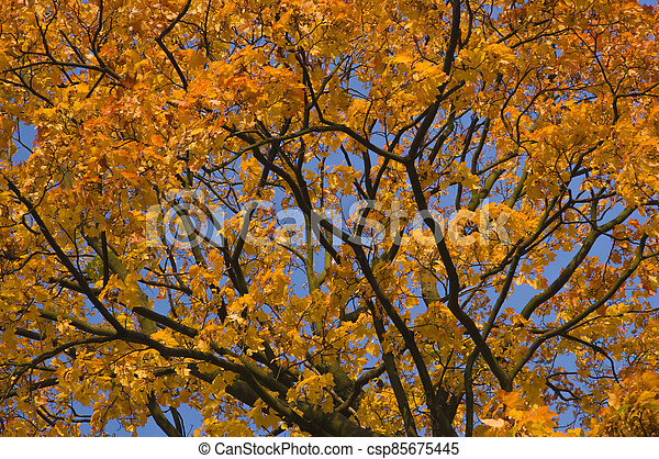 Autumn tree branches with bright colorful yellow orange autumn leaves on blue sky background - csp85675445