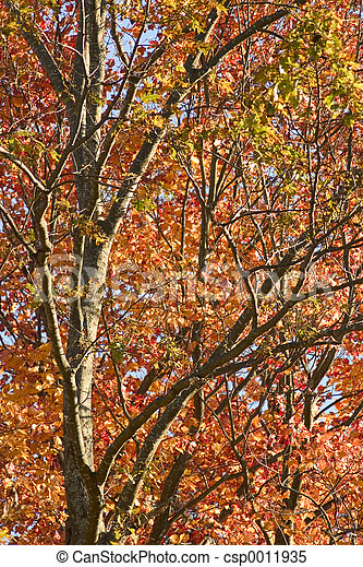 Autumn Tree - csp0011935