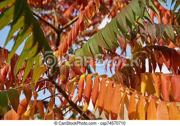 Autumn tree with long red, yellow, green leaves - csp74570710