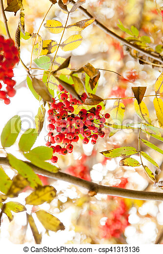 Autumn Tree With Red Berries And Colorful Leaves Selective Focus