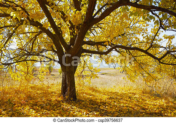 Autumn tree with yellow leaves - csp39756637