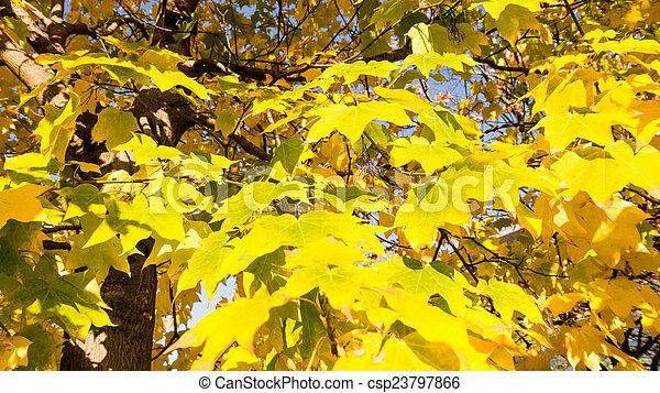 autumn tree yellow leaves - csp23797866