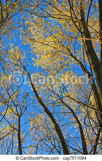 Autumn trees with yellow leaves. - csp7011094