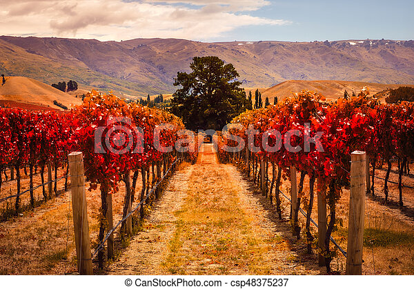 Autumn view of vineyard rows with the tree, New Zealand - csp48375237
